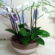 3 double stems Orchids in a ceramic pot