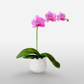 Purple Orchid plant-one steam