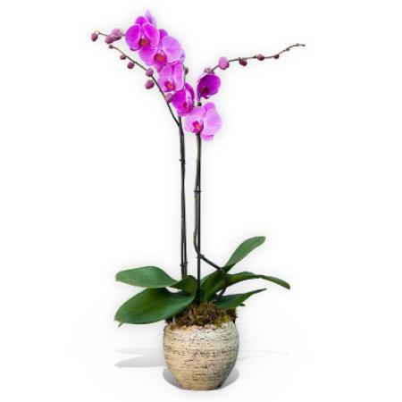 Purple Orchid plant 2 steams