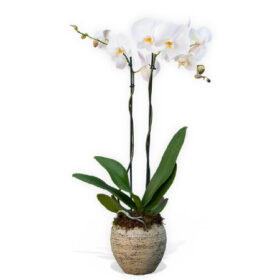 White Orchid plant two steams
